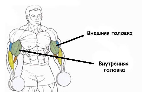 Бицепс: внутренний и внешний пучок