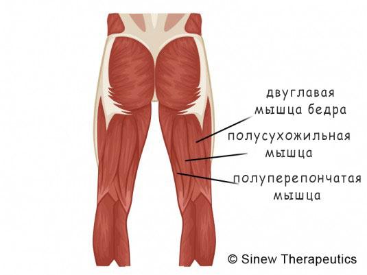 Мышцы задней поверхности бедра