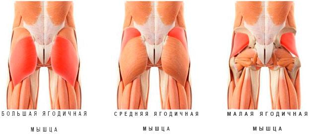 Анатомия ягодиц (большая, средняя и малая)