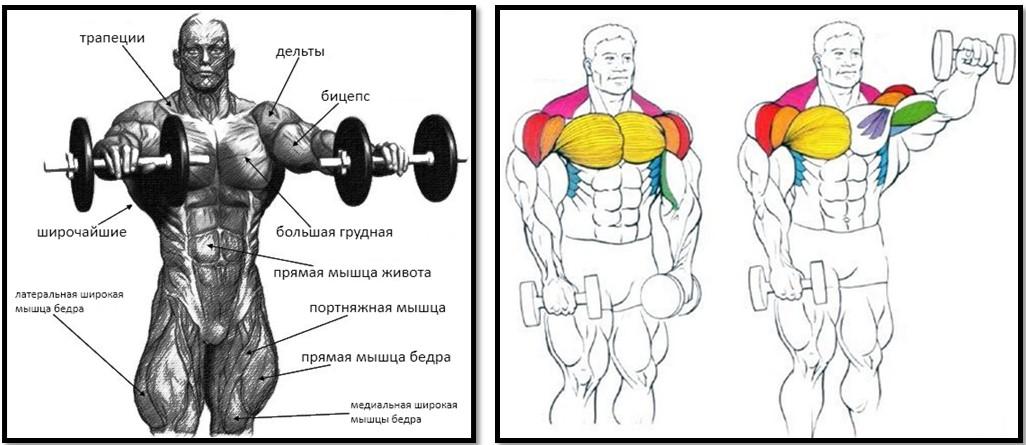 Подъем гантелей перед собой мышцы в работе