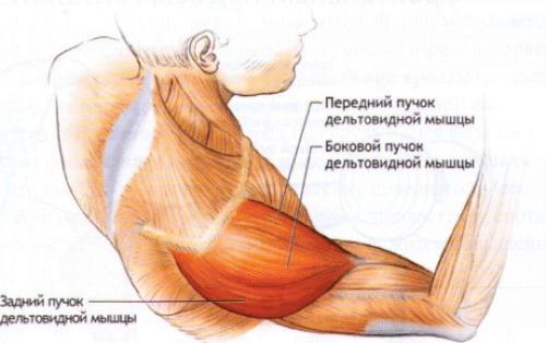 Мышцы плеча структура