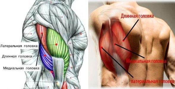 Трицепс: Латеральная головка, Медиальная головка, Длинная головка
