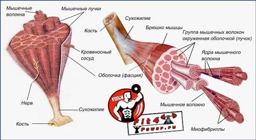 Мышечная структура
