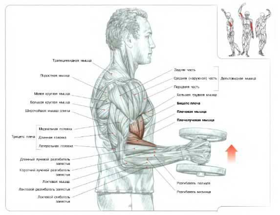 Молотковые сгибания на плечелучевую мышцу
