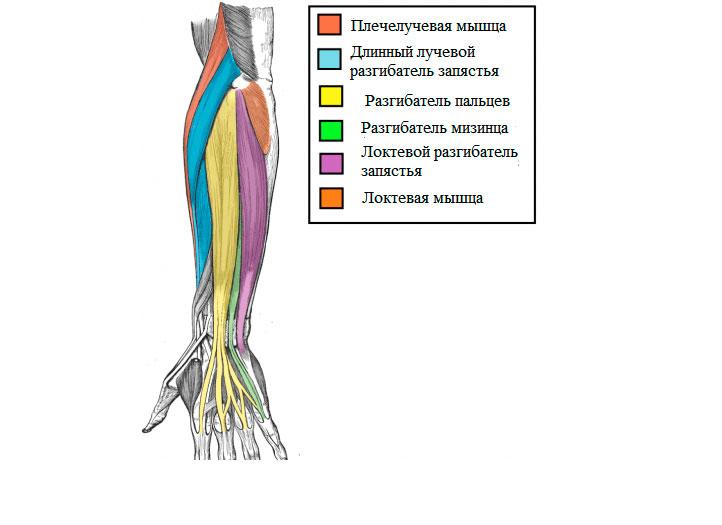 Анатомия предплечья с внешней стороны руки
