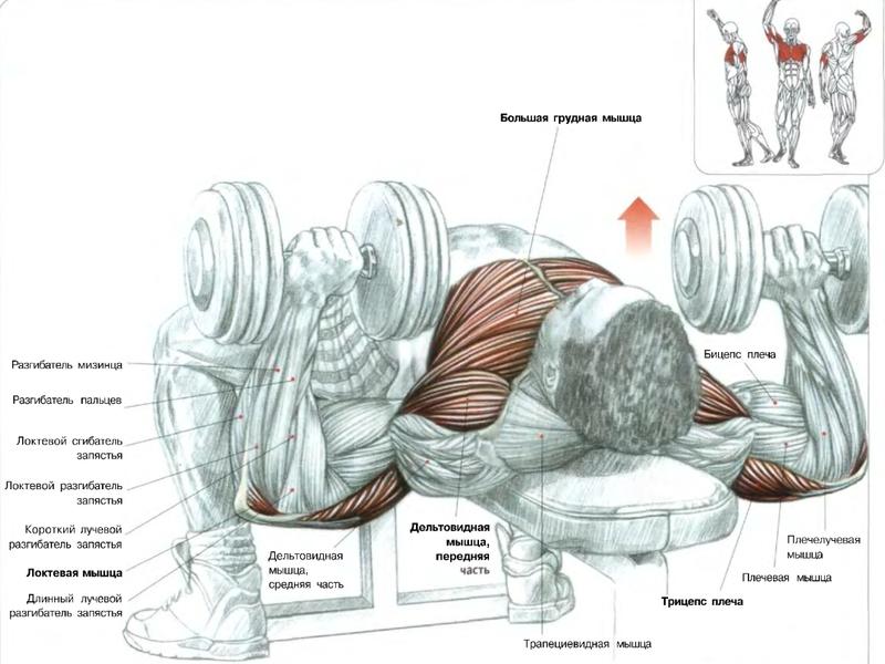 Прокачка мышц груди