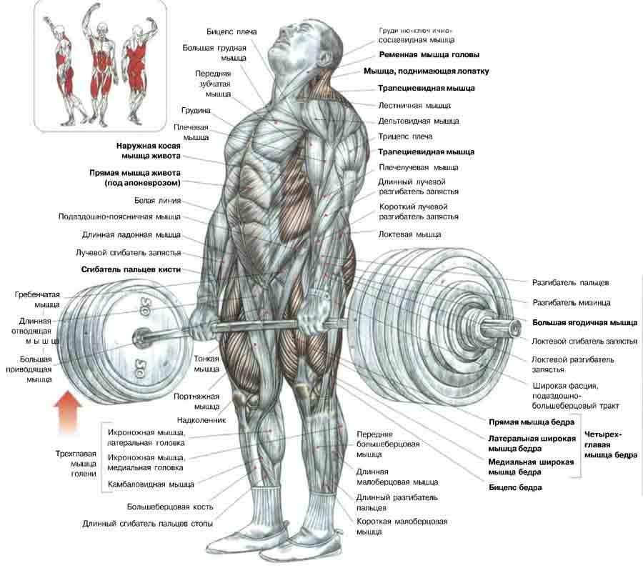 классическая становая тяга - задействованные мышцы