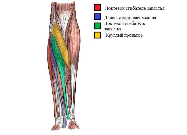 Анатомическое строение предплечья, внутренняя часть