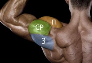 Анатомия мышцы дельта
