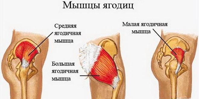строение мышц ягодиц