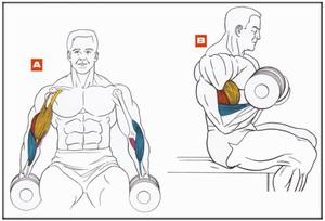 Виды упражнений для рук с гантелями