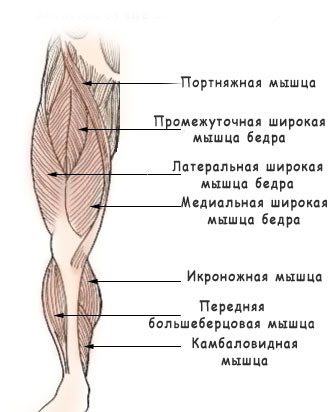 Анатомия мышц передней поверхности бедра