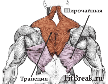 анатомия мышц спины тяга верхнего и нижнего блоков