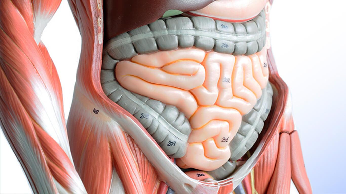 строение и функции системы пищеварения